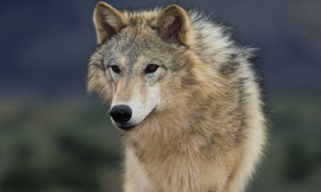 wolf460